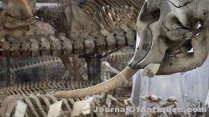 Ken's Korner: Louis XIV elephant tusk chainsawed off