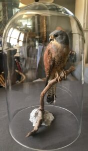 Vintage Italian Taxidermy Falcon, ca. 1935, selling for $2,875, photo:1stdibs