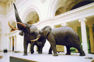 Carl Akeley, considered the father of modern taxidermy, was also a talented sculptor, naturalist, and an inventor. He worked on these elephants at the Field Museum but also has a history of working with another famous elephant. While an apprentice at Ward's Natural Science Establishment, he preserved P. T. Barnum's beloved elephant Jumbo after a train accident. The project took five months. Fighting African Elephants, photo: Field Museum