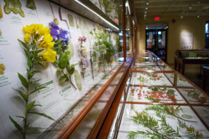 The Ware Collection of Blaschka Glass Models of Plants on permanent exhibition at the Harvard Museum of Natural History, Harvard University Herbaria. Photo by Jennifer Berglund