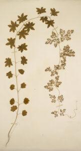 Figure 8: Lygodium palmatum, collected by Henry Thoreau. photo courtesy of Harvard University Herbaria