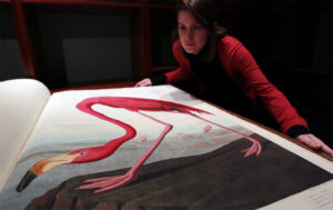 """Sotheby's employee Mary Engleheart looks at a volume of Audubon's Birds of America in London, 2010 Audubon painted the 5' reddish-pink bird with its head lowered, which allowed him to paint the flamingo at nearly life-size, considering he was working on a double elephant folio – each page was nearly 40"""" tall."""