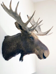 "Title image: Taxidermists use the term ""specimen"" for an animal and ""mounts"" for all of their works. A ""shoulder mount"" or a ""trophy mount"" is the term for a mounted head from the shoulders up, such as this moose example. Taxidermists tend to only use ""stuffed"" to refer to the old 19th century method of literally stuffing preserved animal skins with fabric or straw. This did not produce realistic-looking results."