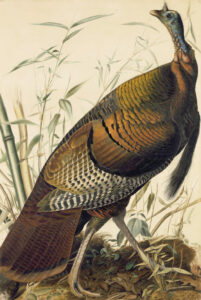 "John James Audubon (1785–1851), ""Wild Turkey"" (Meleagris gallopavo), Study for Havell pl. 1, ca. 1825. Purchased for the New-York Historical Society by public subscription from Mrs. John J. Audubon, 1863.17.1"
