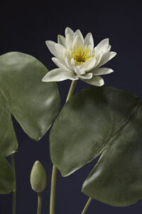 Glass model of Nymphaea odorata (American white waterlily), Model no. 731, Rudolf Blaschka, 1906