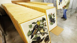 Framed Audubon prints being prepared for display at HistoryMiami in 2015. The museum hosted The Complete Audubon: The Birds of America exhibition; the first time all 435 first edition, life-size prints were displayed at the same time in the same venue.