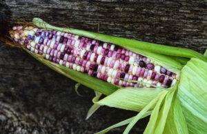 Cherokee White Eagle Corn